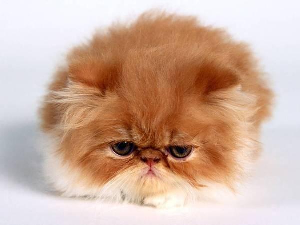 vanessa_persian_kitten.jpg