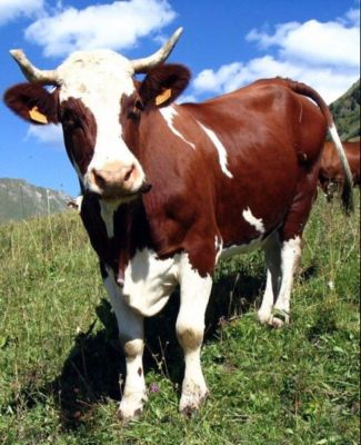 На корову играем! 10 самых невероятных футбольных премиальных