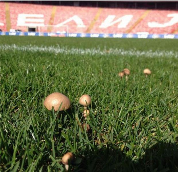На стадионе «Црвены Звезды» выросли грибы (ФОТО)